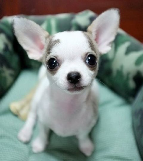 Cute White And Grey Coloring On Chihuahua Cute Baby Animals