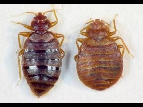 Kill Bed Bugs With Salt Not Traps Youtube Bed Bugs Kill Bed