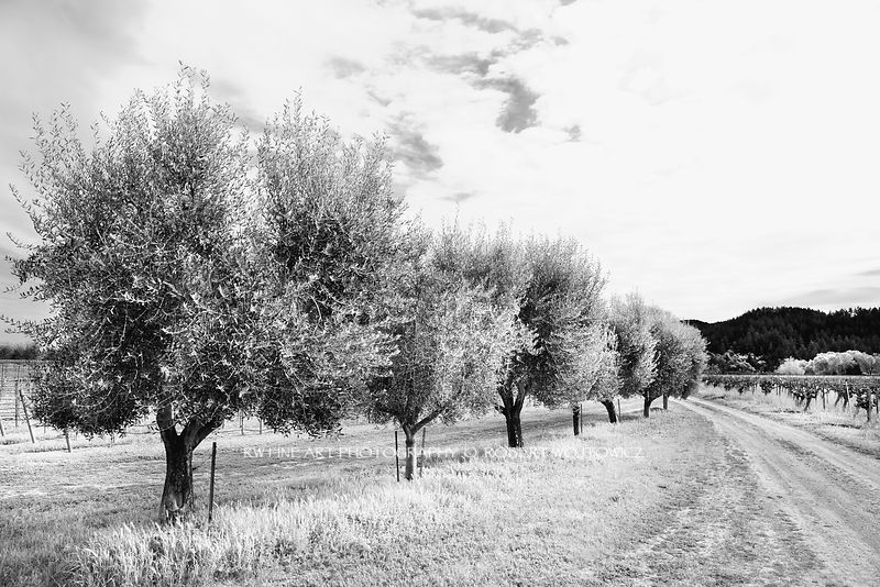 Black And White Vineyard Prints