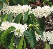 The scent and beauty of coffee tree flowers - all around me sleeping and awake
