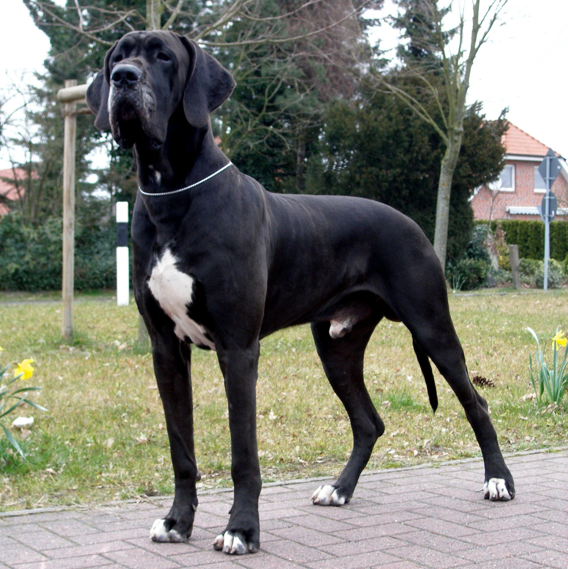 Great Dane Aka German Mastiff Deutsche Dogge Dane Dog Great