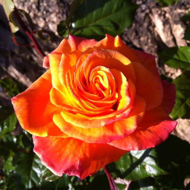 Orange rose from our garden