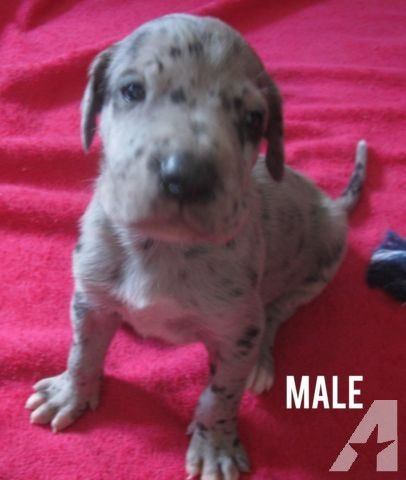 Great Dane Puppies Black Blue Merle For Sale In Jasper Michigan Classified Americanlisted Com Great Dane Puppy Baby Dogs Cute Funny Dogs