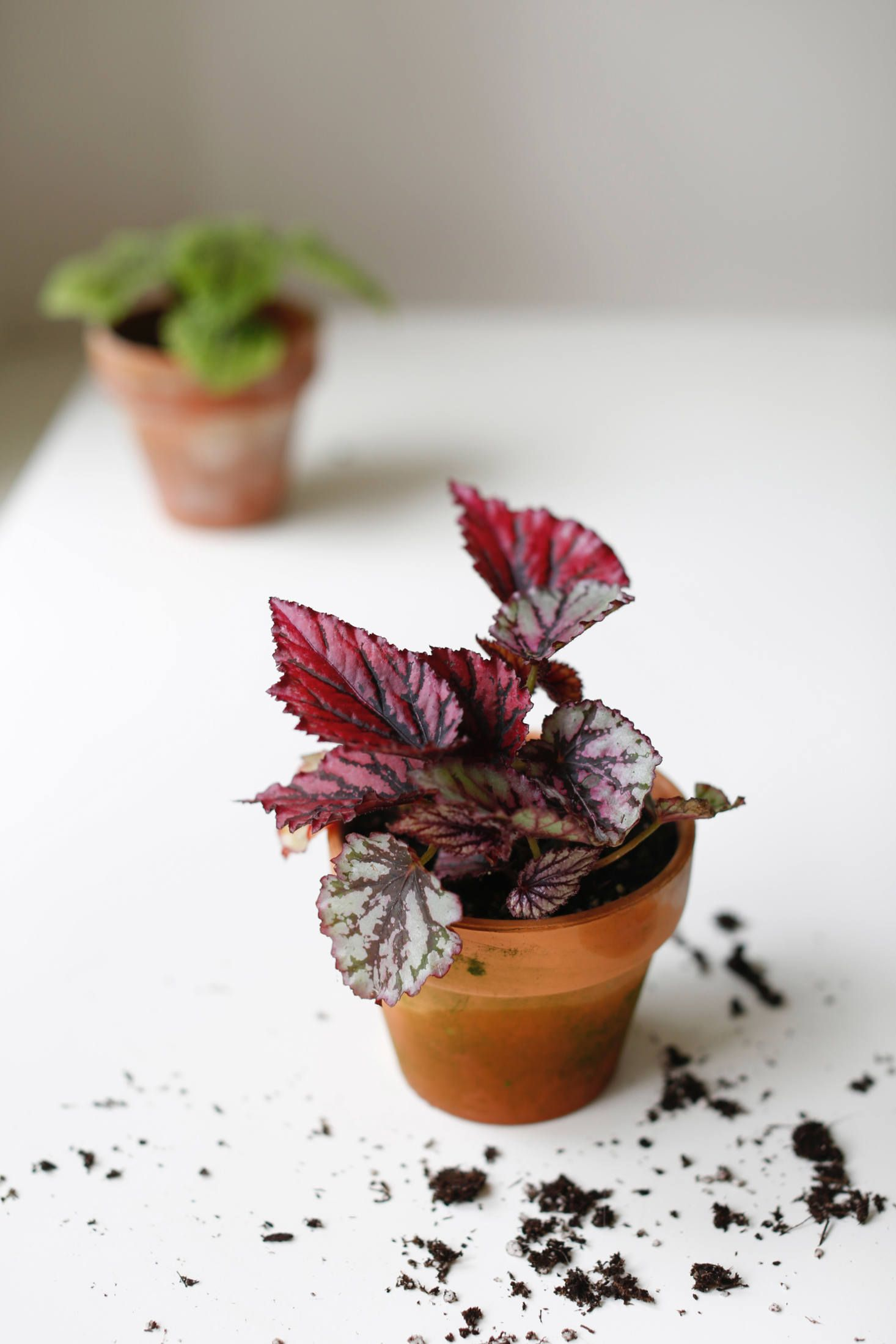 Houseplant Help 5 Tips To Keep Finicky Begonia Rex Alive House