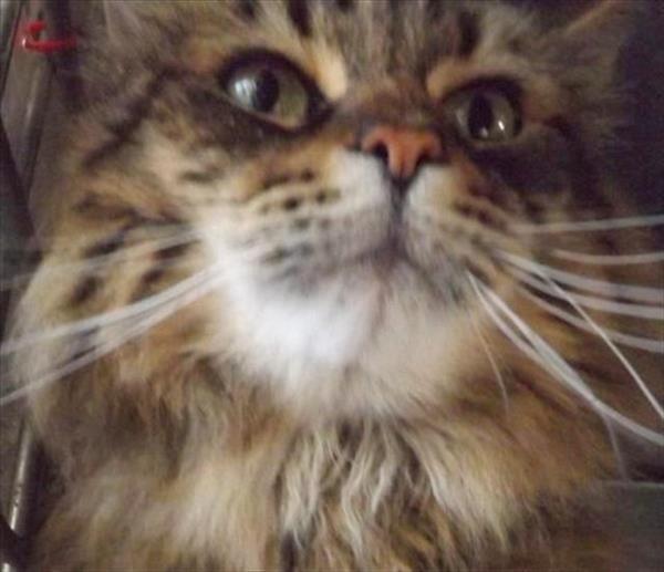 Adoptable Cat Victoria Bc Spca Cat Adoption Animals Cats