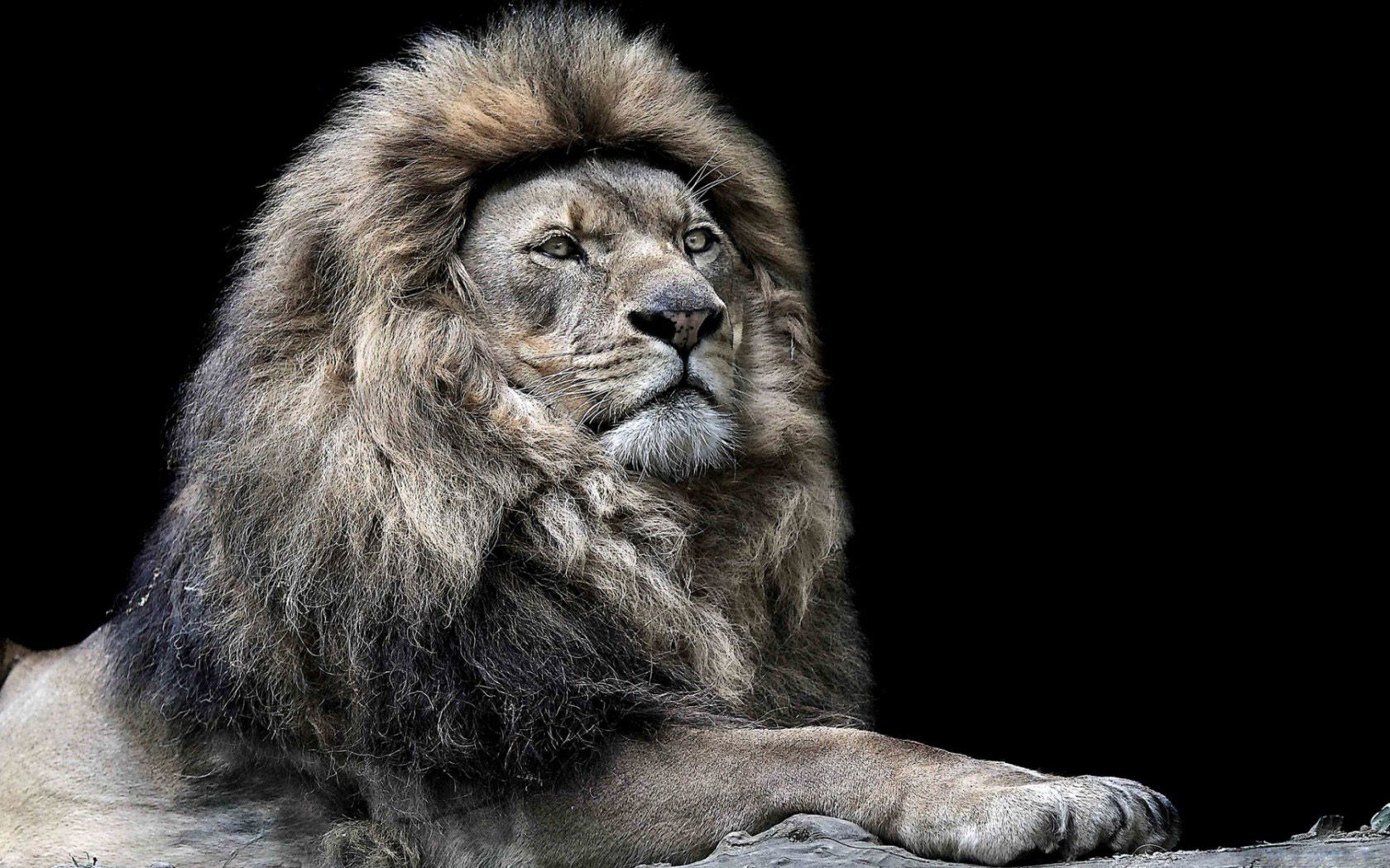 Pin By Leib Reichrudel On Lvy Lion Wallpaper Beautiful Lion Lion