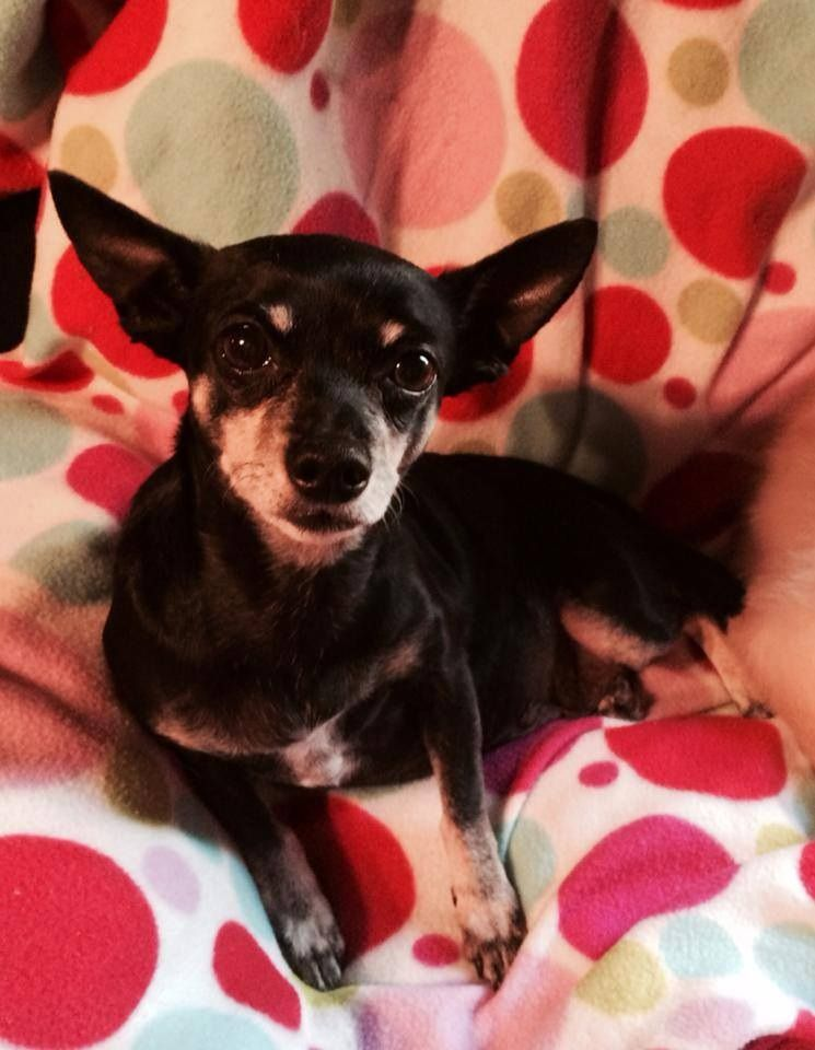 Nana Is A 6 Year Old Female Chihuahua Looking For Her Forever Home