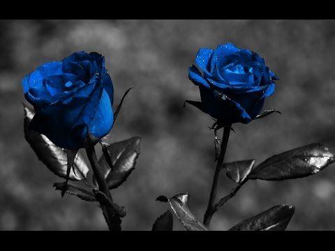 Blue Roses Meaning Blue Roses Meaning Miracle Youtube Blue Roses Wallpaper Rose Flower Wallpaper Black Rose Flower
