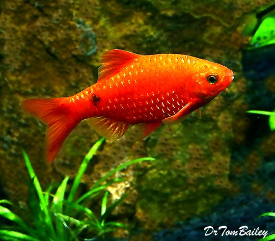 Neon Rosy Barb Featured Item Neon Rosy Barb Fish Petfish Aquarium Aquariums Freshwater Freshwaterfish F Aquarium Fish Tropical Freshwater Fish Fish
