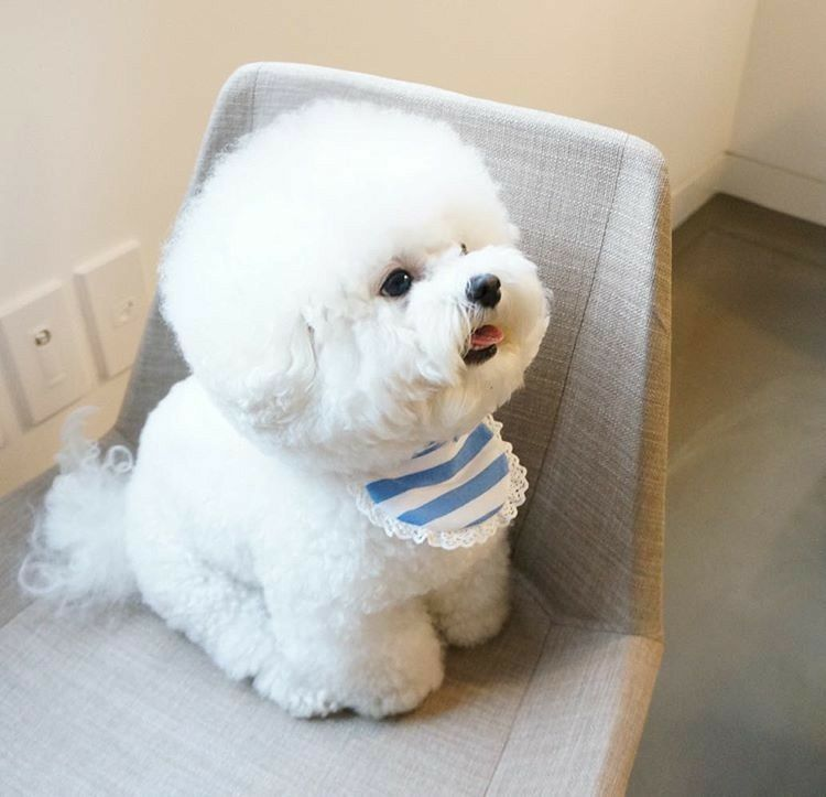 Pin By Paola Velez On Imagens Novas Cute Puppies Bichon Frise Puppy Baby Dogs