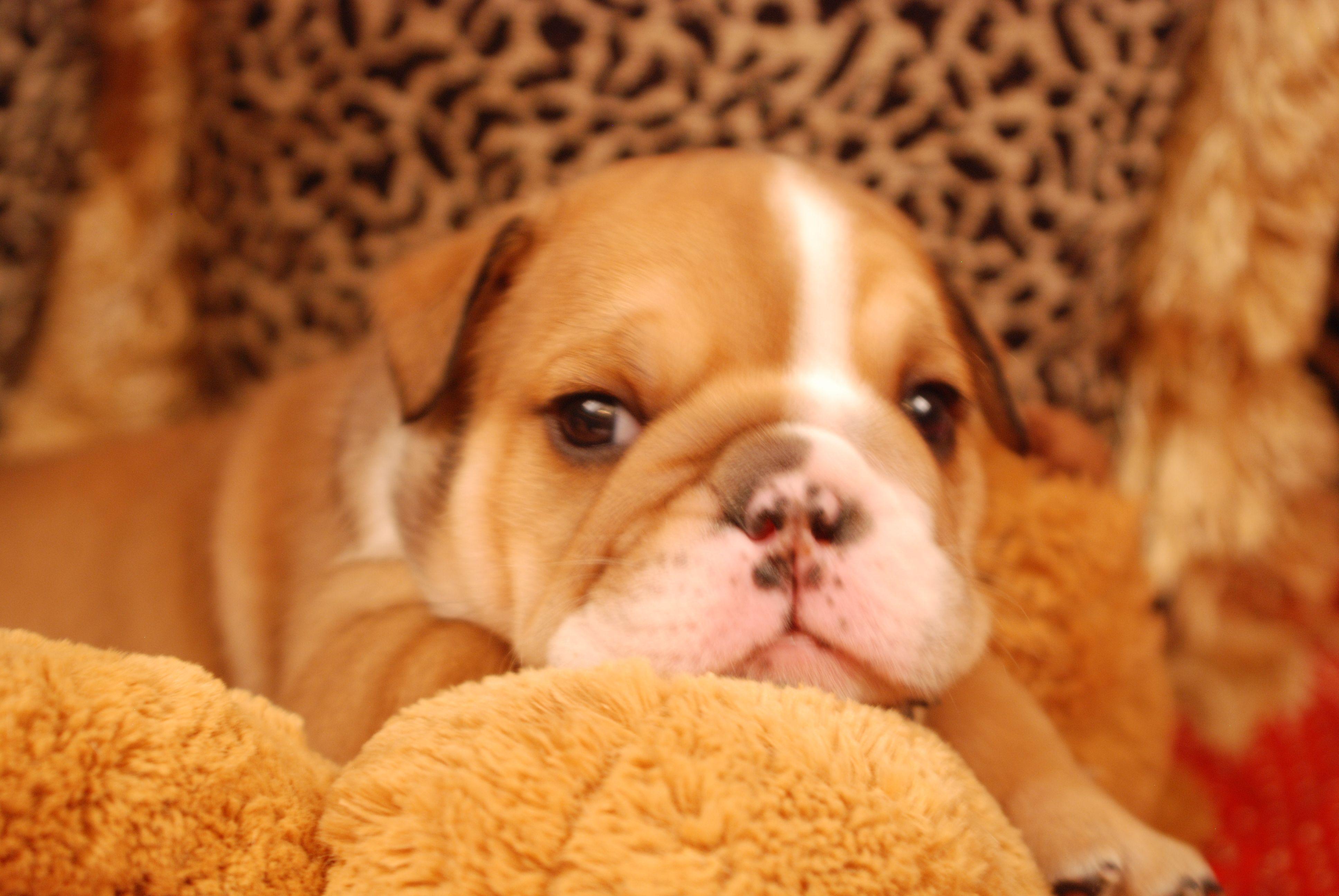 Bbb Beautiful Bulldog Baby Bulldog English Bulldog