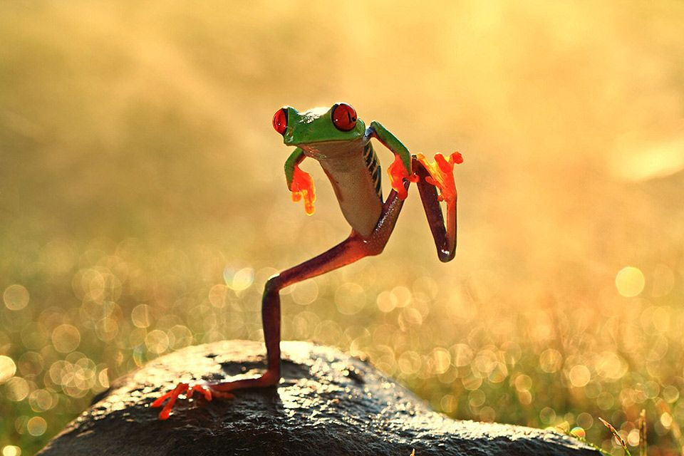 dance to your own tune ~ just like this clever dancing prince ~ prancing in  nature's radiant golden glory!! | Frog, Funny animals, Red eyed tree frog