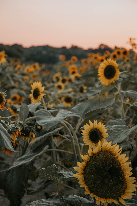 Amazing photo, Sunflowers in 2020 Sunflower iphone