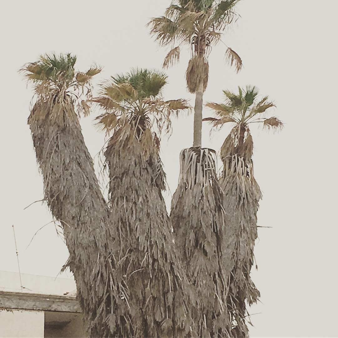 #spain #kanaren #canarias #palmen #lanzarote #futeventura #instatraveling #instagram #arrecife #picture #hafen #harbour #palme #palmtrees #palmen #palmengarten