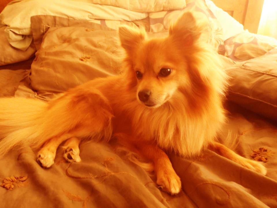 Pomchi. Pomeranian chihuahua mix. It looks like Paulanka ...