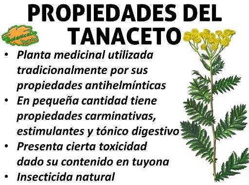 Propiedades medicinales y curativas del tanaceto planta for Planta decorativa con propiedades medicinales