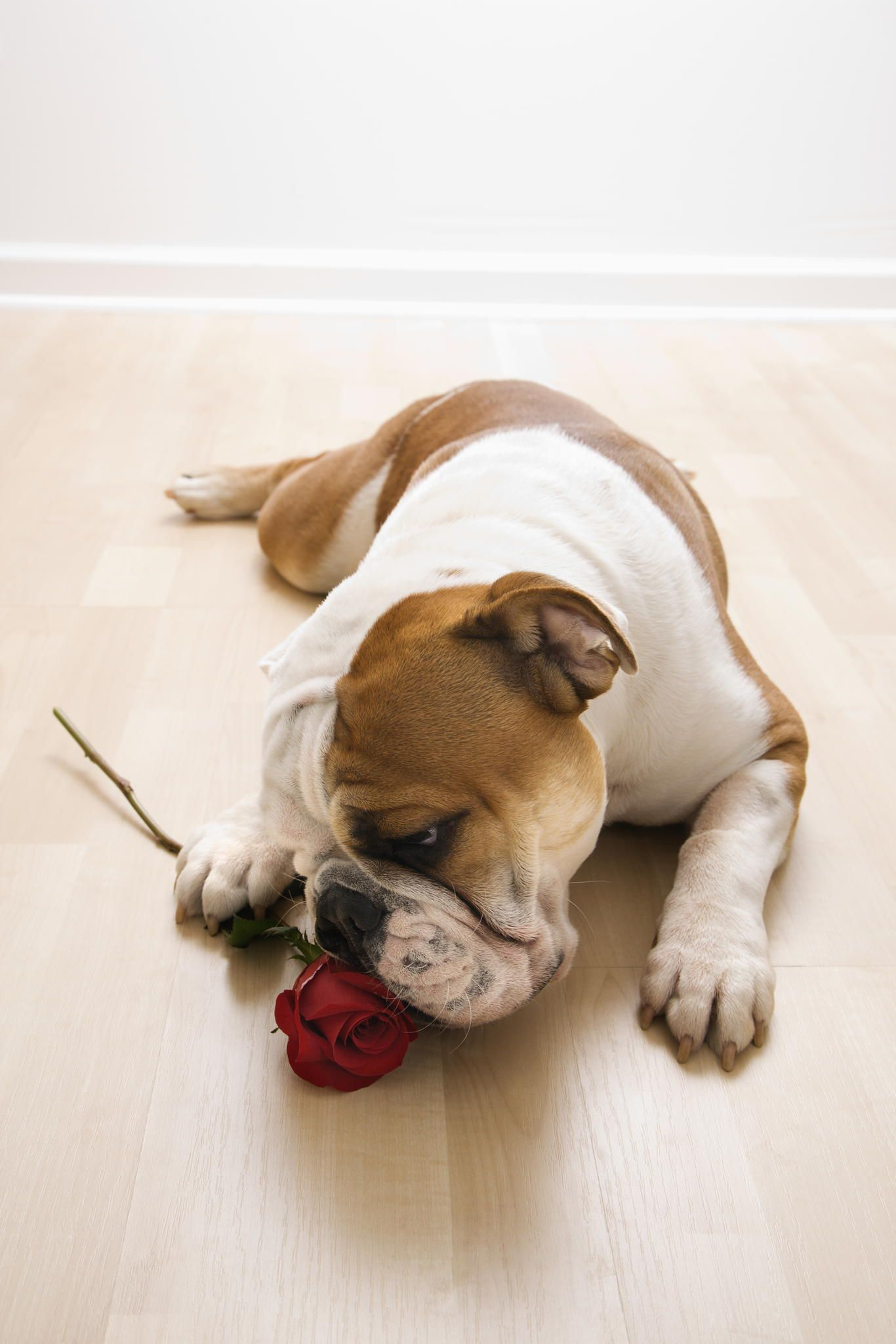 Dog sniffing red rose. - English Bulldog lying on floor sniffing long-stemmed red rose.