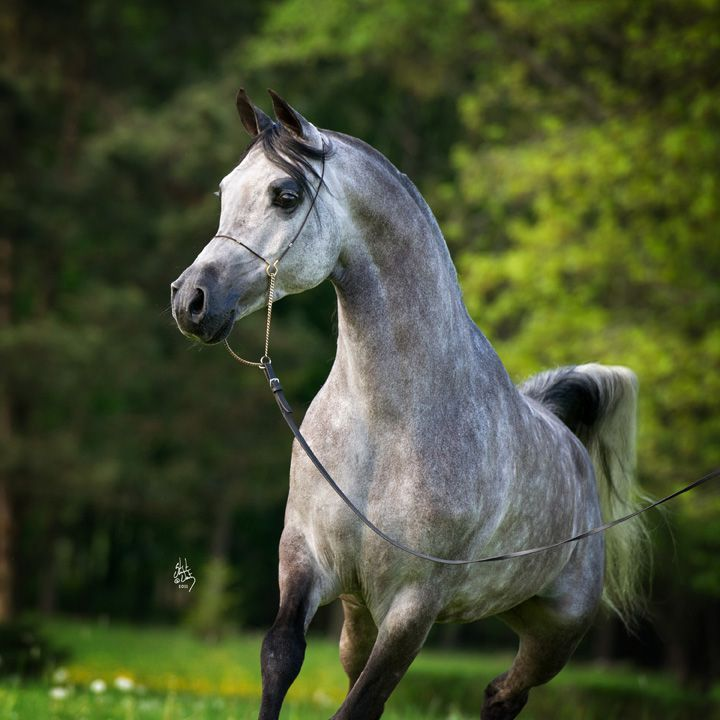 CELSJUSZ (PL) 2004 Grey Pure Polish Arabian stallion. Ekstern {Monogramm x Ernestyna by Piechur} x Carina {Pesal x Cacanka by Boryslaw} Bred by Białka State Stud, Poland. Owned by Mohamed Omar Elsaady Zaghloul, Egypt [Photo credit: Stuart Vesty]