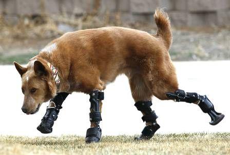 Clínica nos Estados Unidos cria próteses para animais amputados ...
