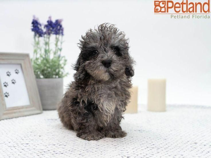 #poodle  #petlanddavie  #petland  #petlandflorida  #davie  #puppy  #doglover  #adorable  #dog  #cute  #pet  #dogoftheday  #photooftheday  #puppylove #Florida #Poodle Petland Florida has Poodle puppies for sale! Check out all our available puppies!