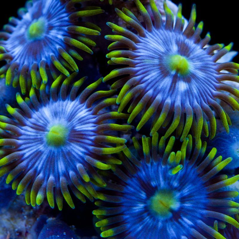 Blue Steel Zoanthids Coral Drawing Coral Painting Coral Art
