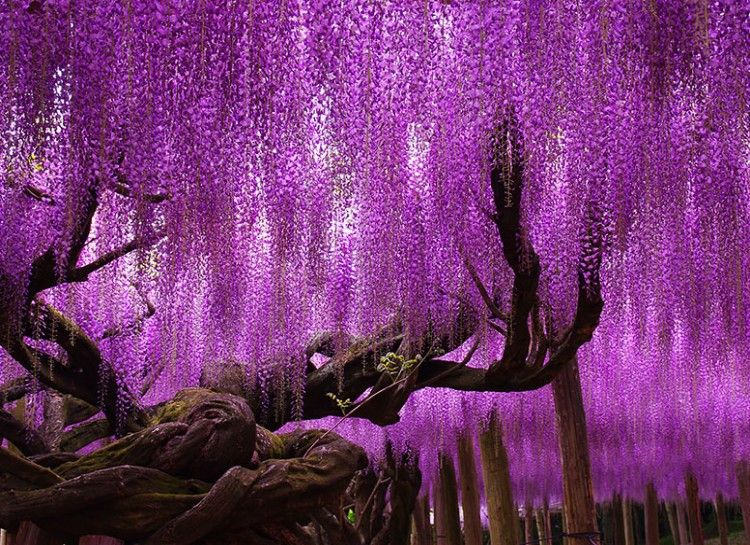 144 Year Old Wisteria Japan This Very Old Wisteria Tree Expands Almost 2 000 Square Meters The Whole Area Is Magical Wisteria Tree Purple Wisteria Wisteria