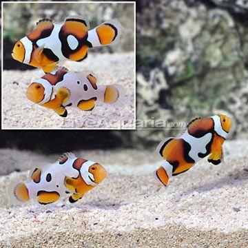 Picasso Clownfish Select Pair Clown Fish Fish Pet Animals