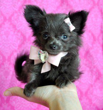 Tiny Teacup Blue Chihuahua Stunning Long Hair Princess 16 Oz At 8
