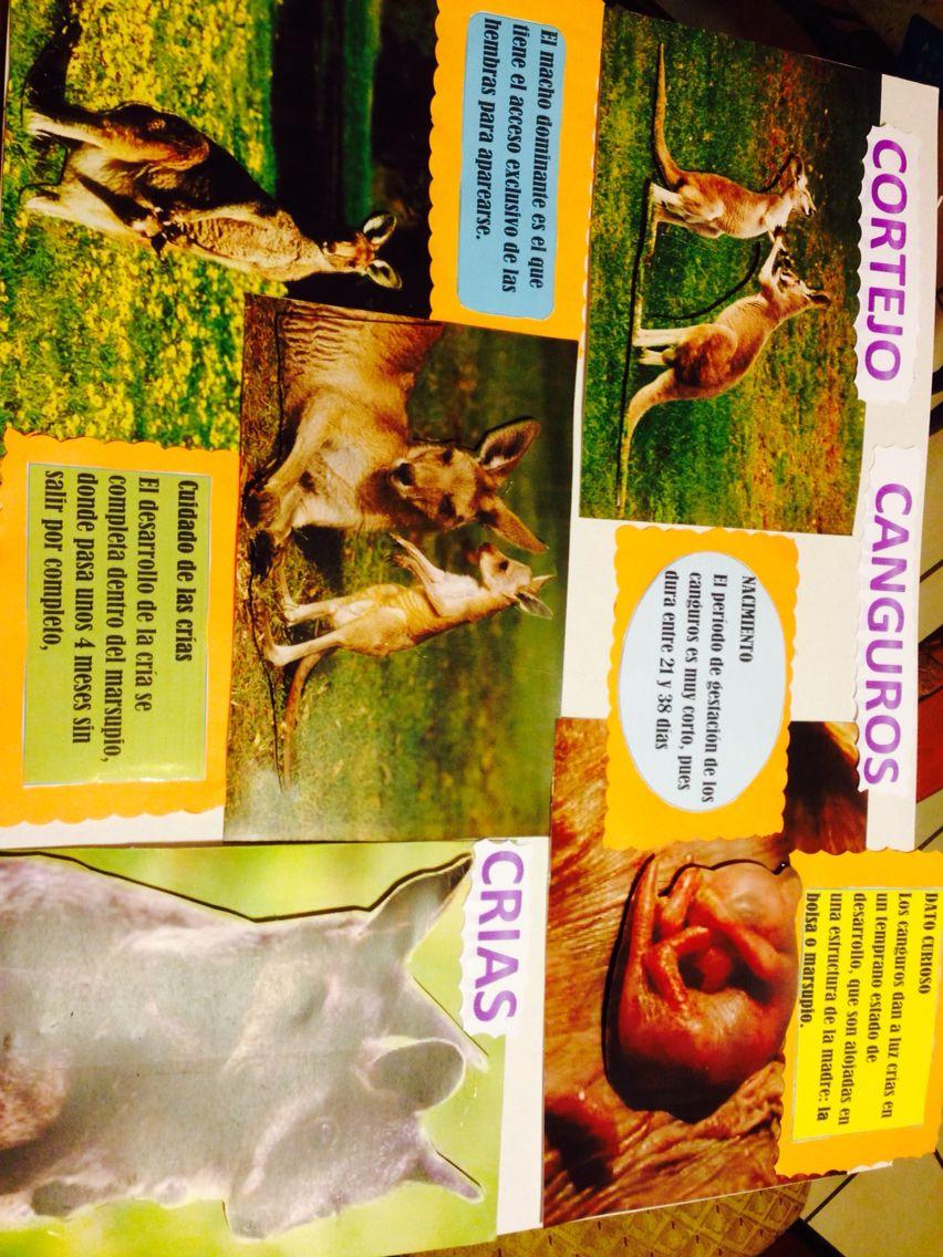 Exposicion sobre canguros | Tareas escolares | Pinterest | Canguro ...