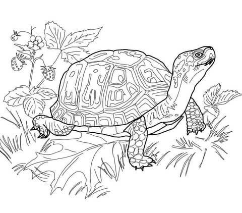 galapagos coloring pages turtle | Eastern Box Turtle Coloring page | Turtle coloring pages ...