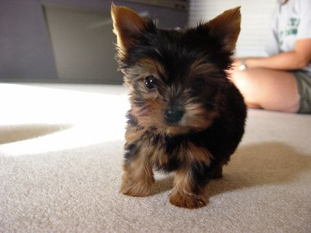 Dog Mini Griffin Mini Dogs For Sale Uk Teacup Yorkie Puppy Yorkie Yorkie Puppy