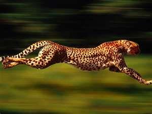 Cheetah Running Speed Animal Hd Wallpapers Cheetah Pictures