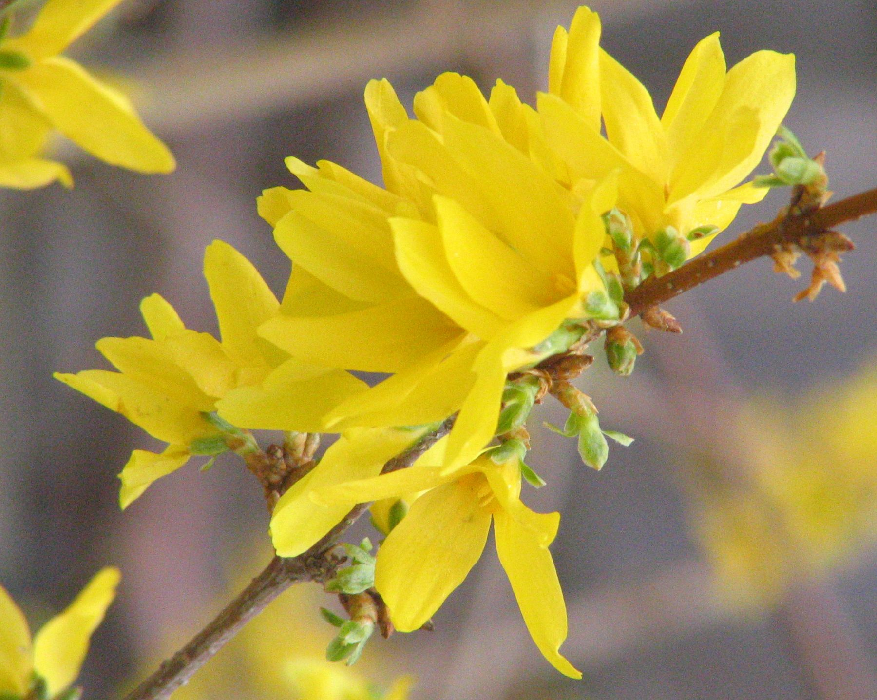 Forsythia Flower Of Brooklyn Picture Pictures Of Flowers