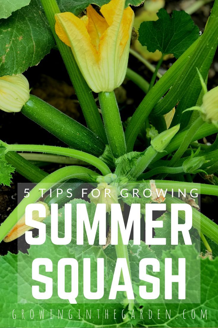 5 Tips For Growing Summer Squash Growing Squash 400 x 300