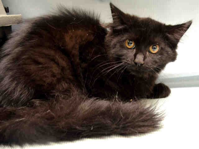 """LEYLAND - A1078792 - - Manhattan  Please Share:   ***TO BE DESTROYED 07/12/16***ABBA and LEYLAND are 2 adorable 5 month old long hair kittens! They were found as strays in Manhattan and are desperately hoping for a kitty angel today! ABBA is a GORGEOUS gray male with luminous yellow brown eyes, and a sweet disposition! I should mention that though it says he's a male, they refer to """"her"""" in the notes, so I think the ACC isn't quite sure what gender he/she is. But AB"""