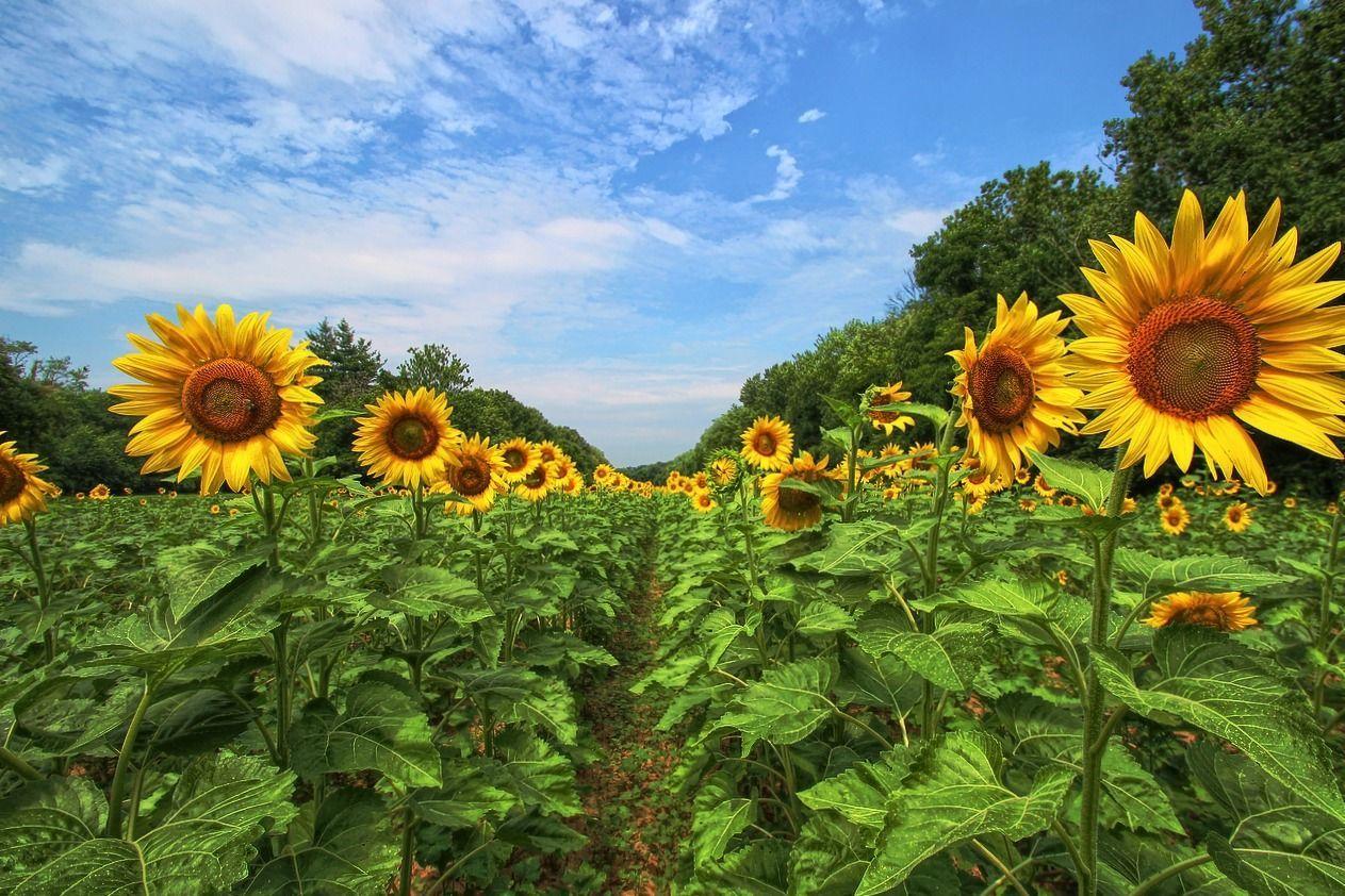 The 30 Prettiest Sunflower Fields Across the U.S. Day