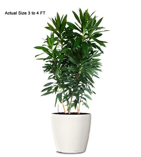 Dracaena reflexa ornamental plant small dracaena reflexa for Plante dracaena