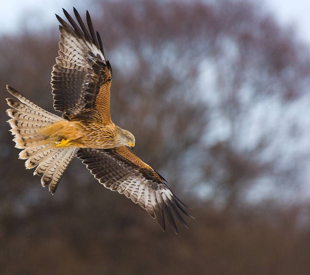 Red Kite Instagram photo by andyparkinsonphoto Aves