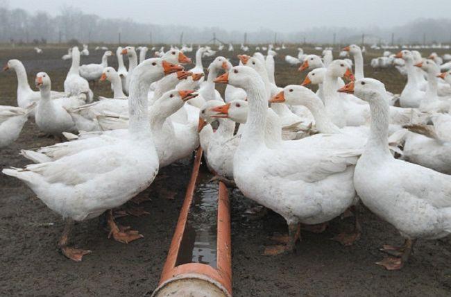 Как содержать гусей в домашних условиях 570