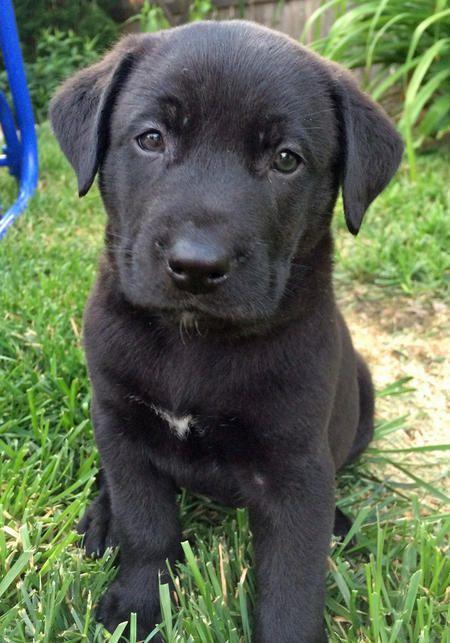 Grizz the Labrador Retriever/Pointer Mix Cute puppy
