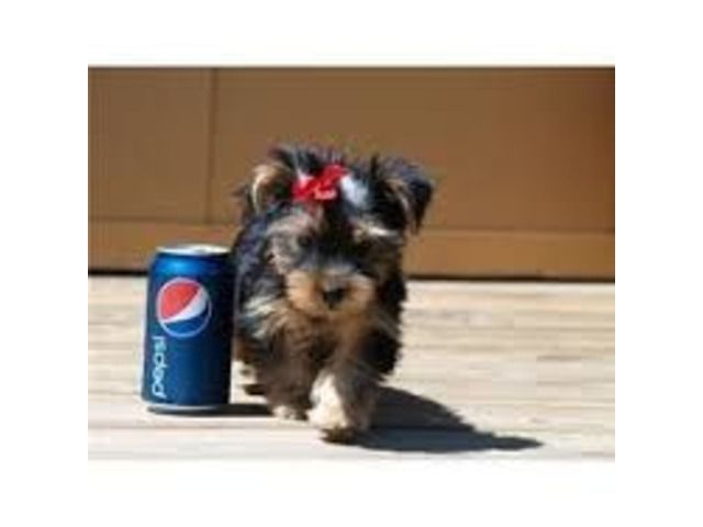 Teacup Size Yorkie Puppies For Re Homing Yorkie Puppy Teacup Yorkie Puppy Yorkie Puppies For Adoption