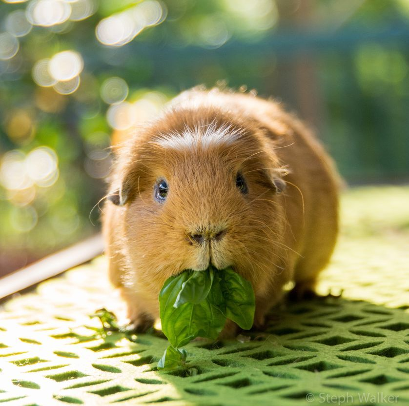 How Much Should A Baby Guinea Pig Drink