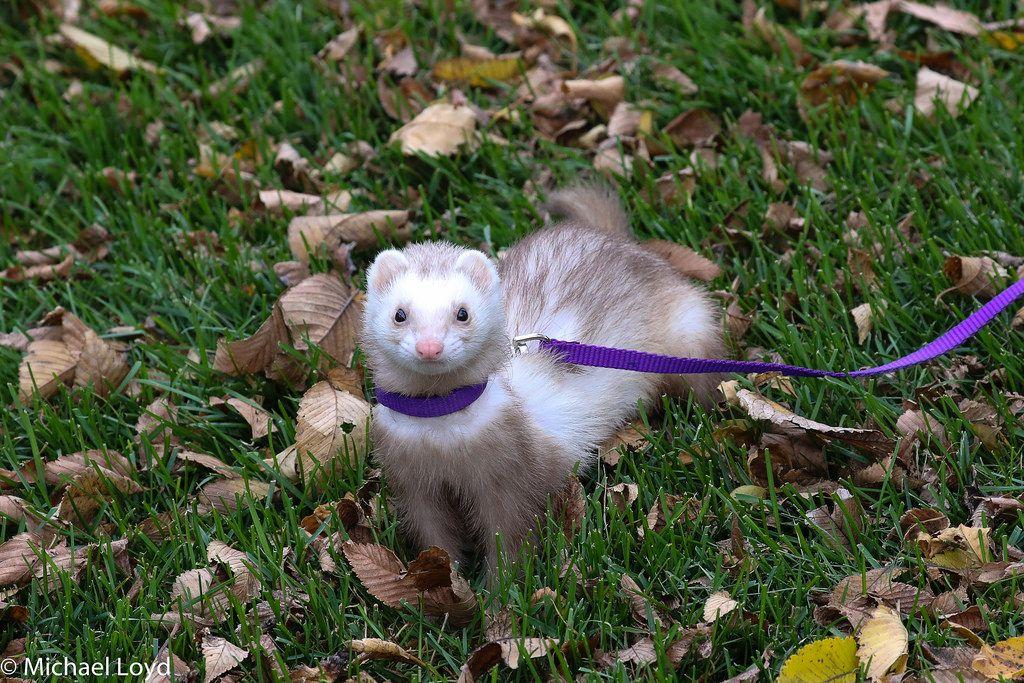 Ferret ferret cage ideas ferret toys ferret ideas