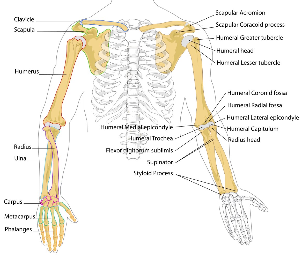 Bones Of The Upper Body