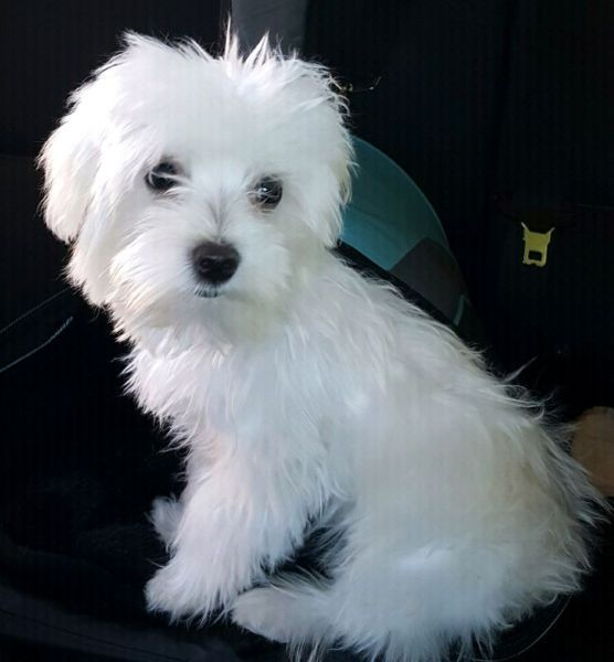 Looking For A New Home For 21 Week Old Male Maltese Puppy Please