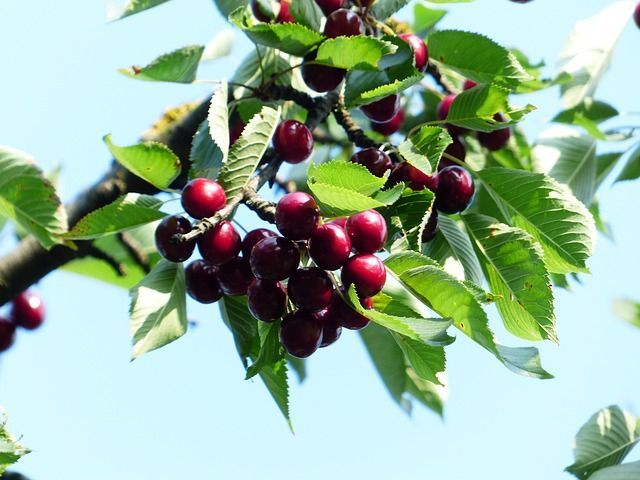 Burgundy Pearl Cherry Tree Zone 4 8 Edible Landscaping Growing Fruit Trees Traditional Landscape