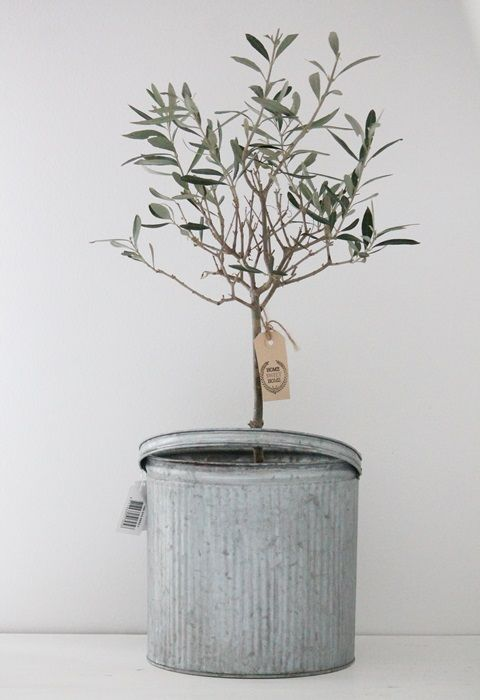 An Olive Tree Symbolic Of Peace In A Zinc Container Sommerpflanzen Bluhende Pflanzen Pflanzen