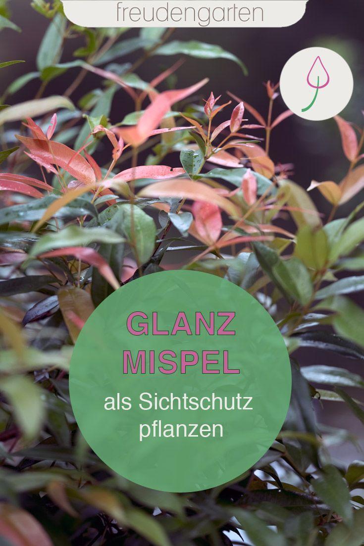 Glanzmispel Pflanzen Und Pflegen Pflanzen Sichtschutz Pflanzen