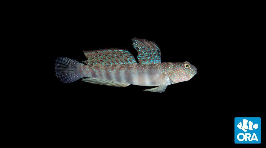 Pink Spotted Watchman Goby Cryptocentrus Leptocephalus Ora Oceans Reefs Aquariums Aquarium Reef Aquarium Pet Training