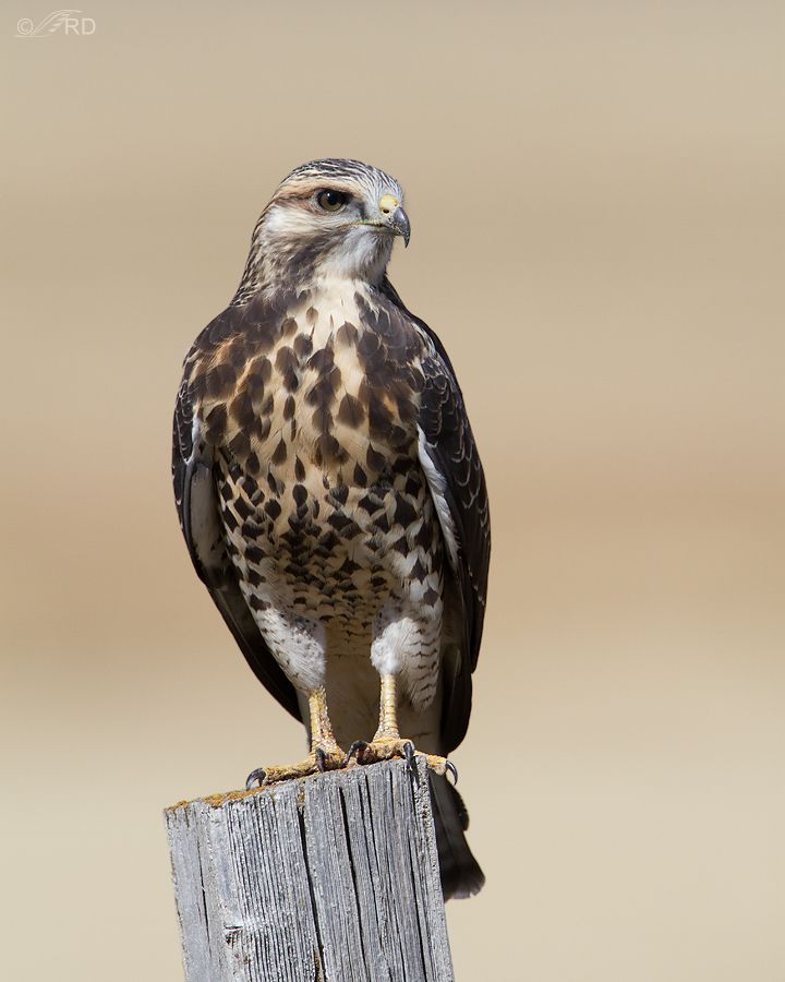Swainson's Hawk (Buteo swainsoni), is a large Buteo hawk of the Falconiformes. It is colloquially known as the Grasshopper Hawk or Locust Hawk, and will voraciously eat these insects whenever they are available. Their breeding habitat is prairie and dry grasslands in western North America.